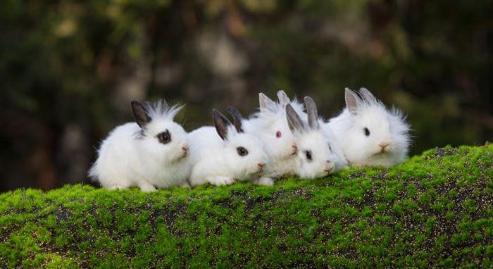 razze dei conigli nani